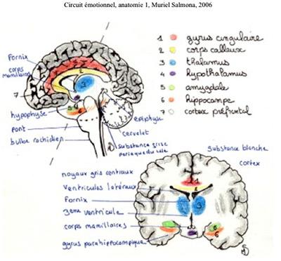 Circuit émotionnel, anatomie 1