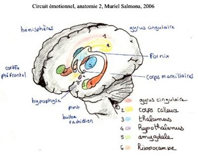 Circuit émotionnel, anatomie 2
